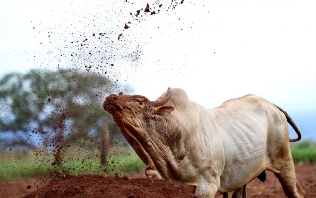 Giro Marília -Sensação em rodeios, touro Agressivo morre aos 17 anos