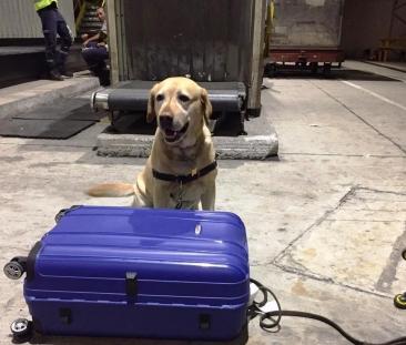 Giro Marília -Cães flagram droga e frustram trafico no aeroporto de Guarulhos