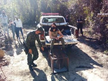 Giro Marília -Vídeo - Onça capturada em Marília é liberada em área de reserva