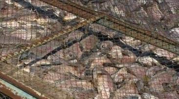 Giro Marília -Rio muda de cor e 70 toneladas de peixes morrem em braço do Tietê