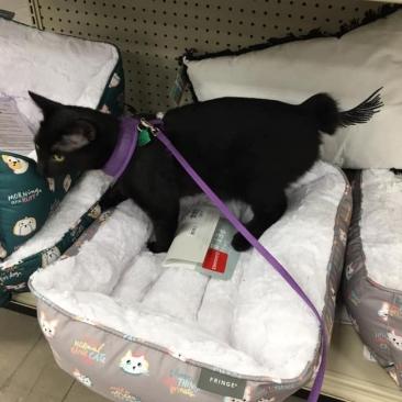 Giro Marília -Gata não sai de loja até dona comprar cama que ela escolheu