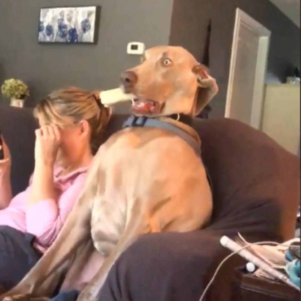 Giro Marília -Cão assistindo TV é a coisa mais hilária que você vai ver hoje